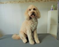 trimfris hond (7)